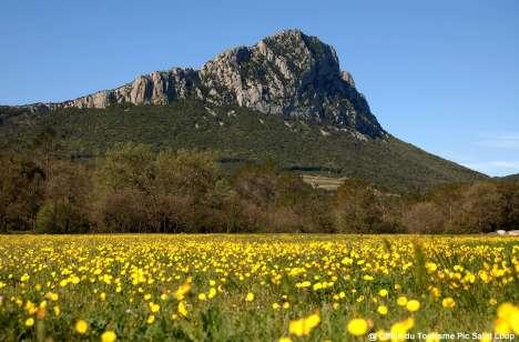 Pic-saint-loup-fleurs-jaunes